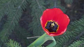 Pestle and stamens in a flower of a tulip.  stock video