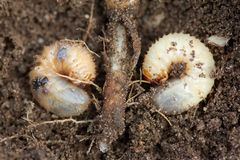 Pests control, insect, agriculture. Larva of chafer eats plant root. Royalty Free Stock Image