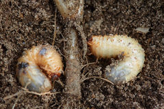 Pests control, insect, agriculture. Larva of chafer eats plant root. Pests control, insect, agriculture, spring soil preparation. Disgusting larvae of chafer Stock Photos