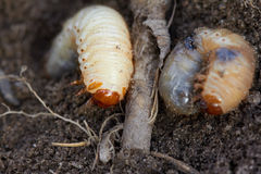 Pests control, insect, agriculture. Larva of chafer eats plant root. Pests control, insect, agriculture, spring soil preparation. Disgusting larvae of chafer Stock Image