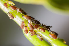 Pests. Extreme macro shot of a aphids colony over a citrus leaf stock photos