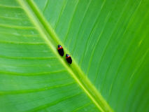 Pests. In a plantain leaf Stock Images