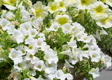 Petúnia branco Fotografia de Stock Royalty Free