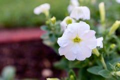 Petúnia branco em pasta Foto de Stock