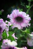 Petúnia cor-de-rosa no fim do fundo da natureza acima Foto de Stock Royalty Free