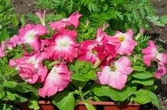 Petúnia cor-de-rosa no jardim Imagem de Stock Royalty Free
