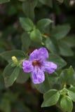 Petúnia de Baja Fotografia de Stock