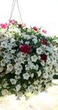 Petúnia de suspensão bonito das flores Imagem de Stock Royalty Free