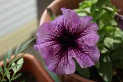 Petúnia decorativo da flor Imagens de Stock Royalty Free