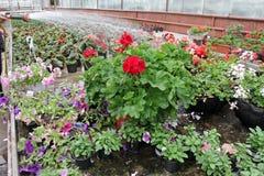 Petúnia e pelargonium coloridos Stimoryne Campo de petúnias e do gerânio vermelhos, roxos, cor-de-rosa, brancos, verdes e brancos Imagens de Stock