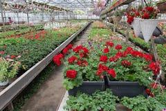 Petúnia e pelargonium coloridos Stimoryne Campo de petúnias e do gerânio vermelhos, roxos, cor-de-rosa, brancos, verdes e brancos Imagem de Stock Royalty Free