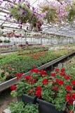 Petúnia e pelargonium coloridos Stimoryne Campo de petúnias e do gerânio vermelhos, roxos, cor-de-rosa, brancos, verdes e brancos Fotos de Stock