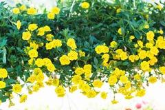 Petúnia híbrido do pátio com as flores amarelas pequenas em um potenciômetro suspendido imagens de stock