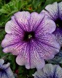 Petúnia roxo Fotografia de Stock