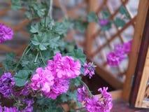Petúnia roxo em meu jardim foto de stock royalty free