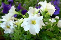 Petúnias brancos e roxos Fotografia de Stock Royalty Free