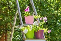 Petúnias brilhantes em uns potenciômetros de flor multi-coloridos na escada portátil, Fotos de Stock Royalty Free