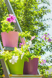 Petúnias brilhantes em uns potenciômetros de flor multi-coloridos na escada portátil Imagem de Stock Royalty Free