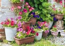 Petúnias coloridos em uns potenciômetros de flor Foto de Stock