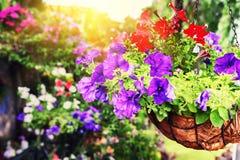 Petúnias coloridos no vaso de flores de suspensão Imagens de Stock
