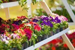 Petúnias cor-de-rosa e brancos Foto de Stock