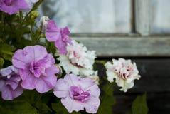 Petúnias cor-de-rosa e brancos contra a janela da exploração agrícola imagens de stock
