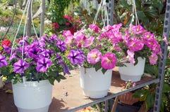 Petúnias cor-de-rosa nos potenciômetros brancos Fotos de Stock Royalty Free