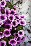 Petúnias roxos em um jardim imagem de stock