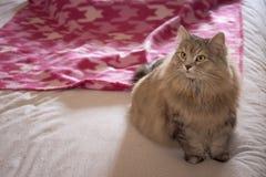 pet Γάτα στο κρεβάτι Στοκ Εικόνα