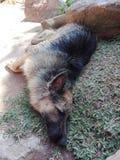 Pet και γερμανικός ποιμένας σκυλιών στοκ εικόνες