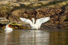 Pet белая гусыня на пруде распространите свои крыла Стоковые Изображения RF