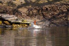 Pet белые лапки гусыни в верхней части на пруде Стоковое Изображение RF