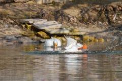 Pet белые лапки гусыни в верхней части на пруде Стоковые Фото