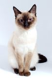Pet. Blue eyed domestic cat of Thai breed Stock Images