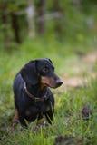 Pet. Little dog dachshund, watching at man Stock Photos