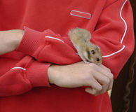 Pet. My son's hamster. Alcacer do Sal,Portugal,E.U Stock Photo