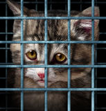 Pet Adoption. Concept for orphaned and unwanted animals as cats or dogs caged in a shelter for pets represented by a sad cute kitten behind  metal prison bars Royalty Free Stock Photography