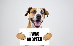 Pet adoption concept with staffordshire terrier dog. Funny pitbull terrier holds. `i was adopted` sign in studio background royalty free stock images