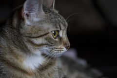 Pet, Adorable common cat hair tabby Stock Images