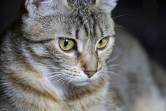 Pet, Adorable common cat hair tabby Royalty Free Stock Photos