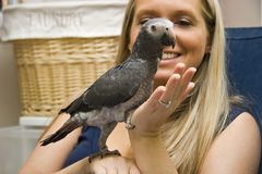 Pet African Grey. Woman Holding Her Pet Timneh African Grey Royalty Free Stock Photo