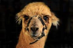 Pet alpaca llama isolated. Pet alpaca wearing harness close up against black background Stock Image