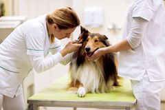 Pet ambulance, veterinarian examining ear with otoscope. To sick dog royalty free stock photos