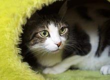 Pet animal; cute cat. Tabby cat indoor royalty free stock photo