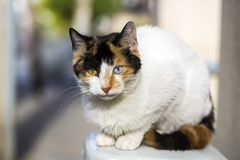 Pet animal; cute cat. Blue and green eyed cat stock photo