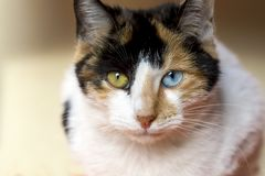 Pet animal; cute cat. Blue and green eyed cat stock images