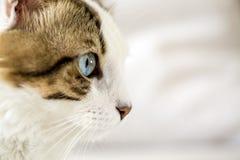 Pet animal; cute cat. Blue eyed cat royalty free stock photo