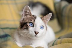 Pet animal; cute cat. Blue eyed cat stock photography