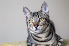 Pet animal; cute cat. Tabby cat indoor stock photography