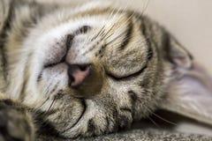 Pet animal; cute cat. Tabby cat sleeping royalty free stock photos
